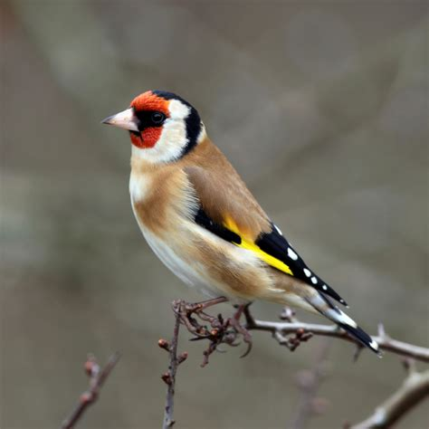 Bird Info/ Goldfinch | Farbrook Farm
