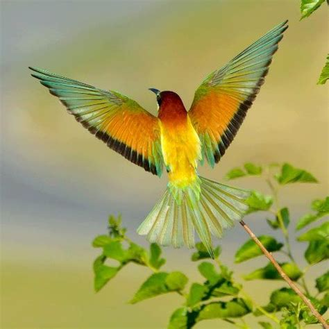 Colorful Bird Flying | Aves | Pinterest | Colorful birds ...