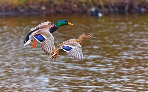 Ducks Birds Landing In The Lake Desktop Wallpaper Hd Free ...