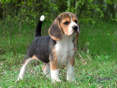 Hound Dogs images Beagles HD wallpaper and background ...