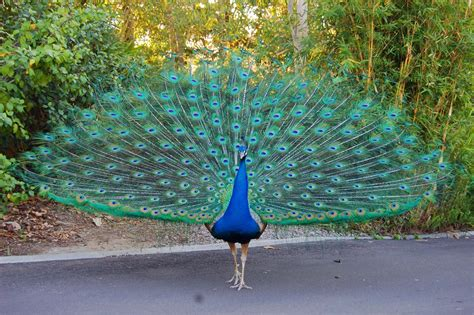 Peacock | National Bird Basic Facts & Information | Beauty ...